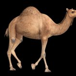Camel animated walk and run Free low-poly 3D model